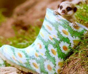 chồn mang giày