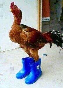 gà mang giày